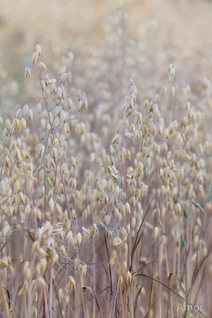 syyskuu 2015(vilja,puimuri) 009-2